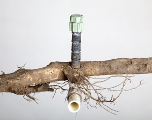 PVC Pipe engulfed by roots