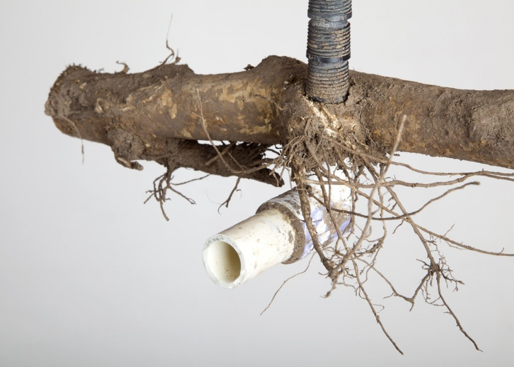 Roots break PVC pipe.